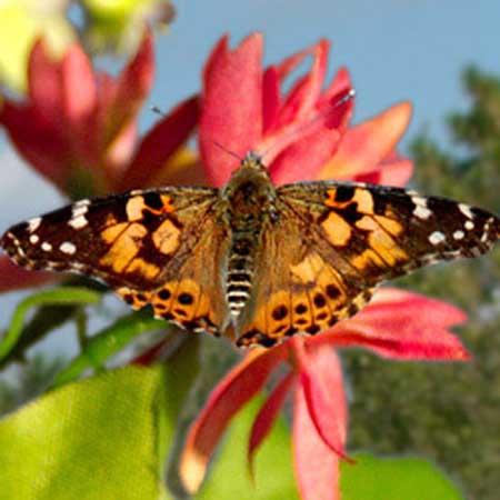 Picture of Painted Lady Butterfly