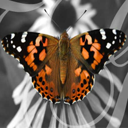 Large Painted Lady Butterfly